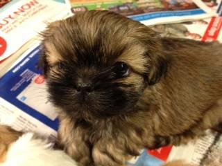 Akc Shih Tzus Ready For Christmas For Sale In Rochester New