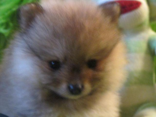 AKC Show Quality Pomeranian Male Puppy