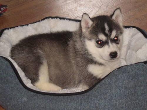 Akc Siberian Husky For Sale In Uxbridge Massachusetts Classified