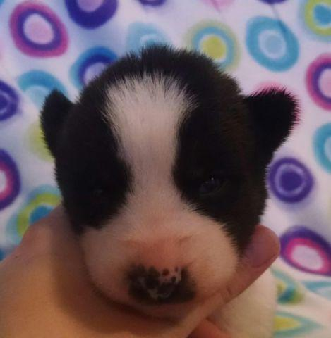AKC Siberian Husky Female Puppy Black & White