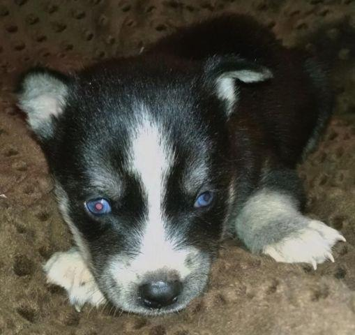 AKC Siberian Husky Female Puppy Black & White Ready Now