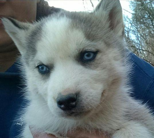 AKC Siberian Husky Female Puppy Gray & White Blue Eyes
