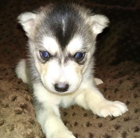 AKC Siberian Husky Female Puppy Grey & White Ready