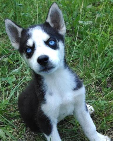 AKC Siberian Husky Male Black & White Blue Eyes Ready Now ...