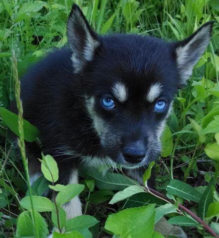 AKC Siberian Husky Male Puppy Black & Tan Blue Eyes Ready ...
