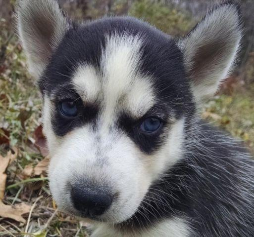 AKC Siberian Husky Male Puppy Black & White Blue Eyes for ...