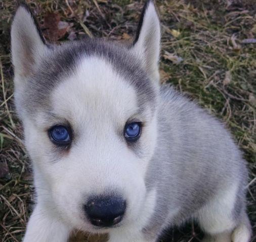 grey and white husky