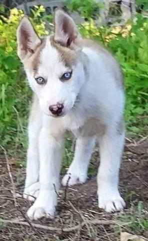 AKC Siberian Husky Male Puppy Red & White Blue Eyes