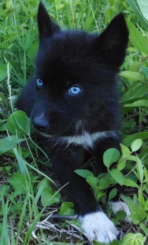 AKC Siberian Husky Male Puppy Solid Black Blue Eyes Ready ...
