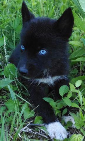 Solid Black Siberian Husky With Blue Eyes AKC Siberian Husky Mal...