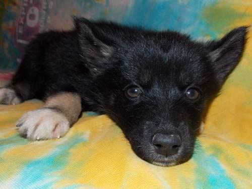 Solid Black Siberian Husky With Blue Eyes AKC Siberian Hu...