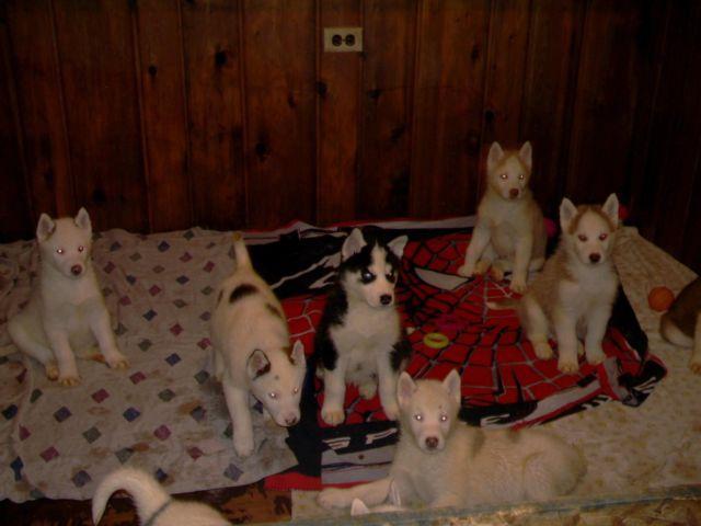 AKC Siberian Husky Puppies