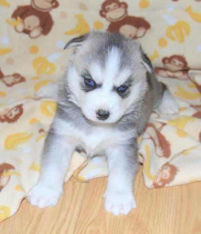 akc siberian husky puppies now taking deposits for