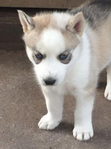 Akc Siberian Husky Puppies Red White Blue Eyes Only 2 Left