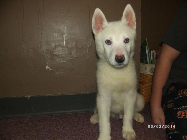 AKC SIBERIAN HUSKY PUPPIES WHITE WITH BLUE EYES