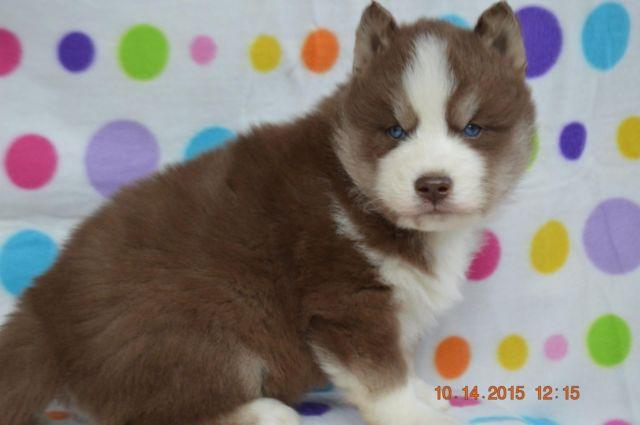 Akc Siberian Husky Puppies Wooly Coat For Sale In East Concord