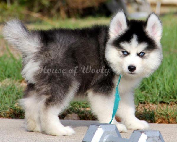 Akc Siberian Husky Puppy Boy 7 For Sale In San Diego