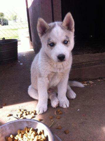 Akc Siberian Husky Puppy Grey White Male Blue Eyes Price Reduced