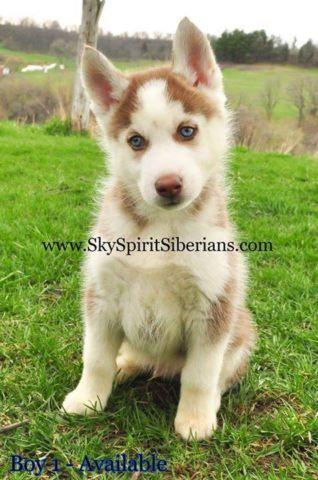 Akc Siberian Husky Puppy Male Red White For Sale In Estherville