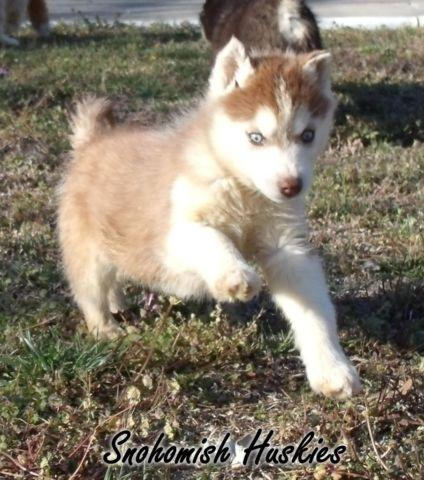 Akc Siberian Husky Pups Black White Male Red White Female For