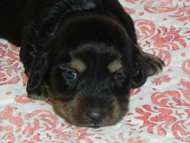 AKC Silky/Soft Wirehair Miniature Dachshund Female