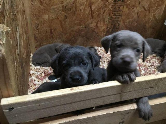 Akc Silver And Charcoal Lab Puppies For Sale In Troy Illinois