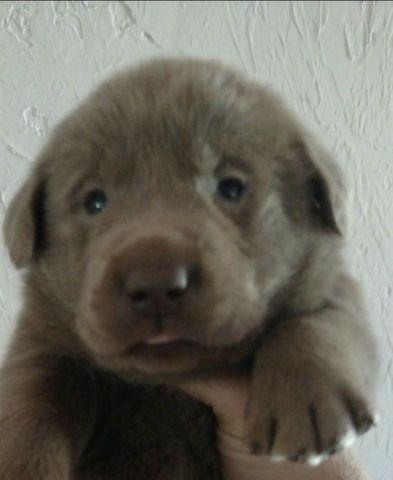 Akc silver and white labrador puppies for sale in conroe texas