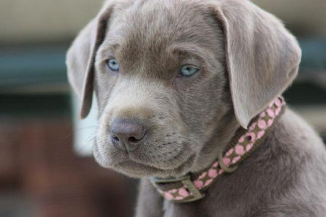 Yellow Lab Puppies For Sale In Ohio Classifieds Buy And Sell In