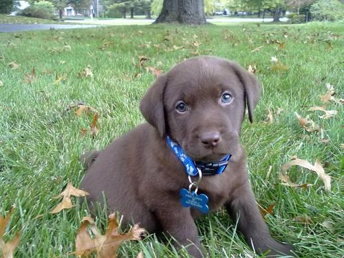 Lab Female Pets And Animals For Sale In Wisconsin Puppy And Kitten