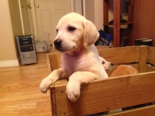 Silver Labrador Puppies Pets And Animals For Sale In The Usa Puppy