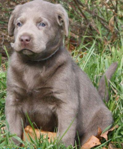 AKC Silver Labrador Puppies 4 1/2 weeks (Taking