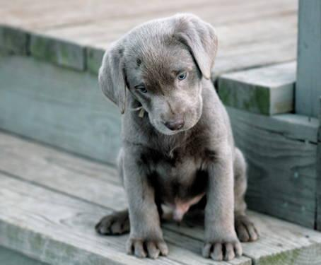 Lilly - Labrador Retriever-Silver Puppy for Sale in Shipshewana, IN