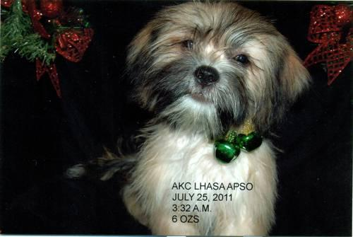 AKC SILVER LHASA APSO - BORN JULY 25-2011-