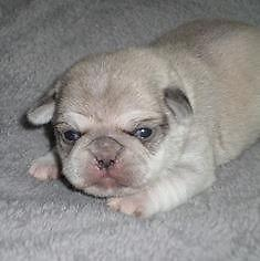 AKC Silver/White Purebred PUG Puppy ~ FEMALE~ Ready Oct