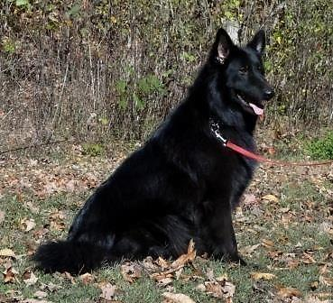 long haired black german shepherd puppies for sale akc solid black longhair german shepherd for sale in 8554