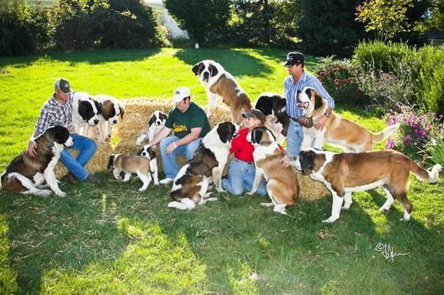 AKC St  Bernard Puppies