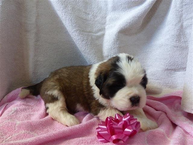 Akc St Bernard Puppies For Sale In Gar Creek Indiana Classified Americanlisted Com