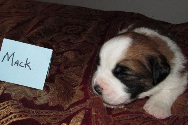 Akc St Bernard Purebred Puppies For Sale For Sale In Blaine