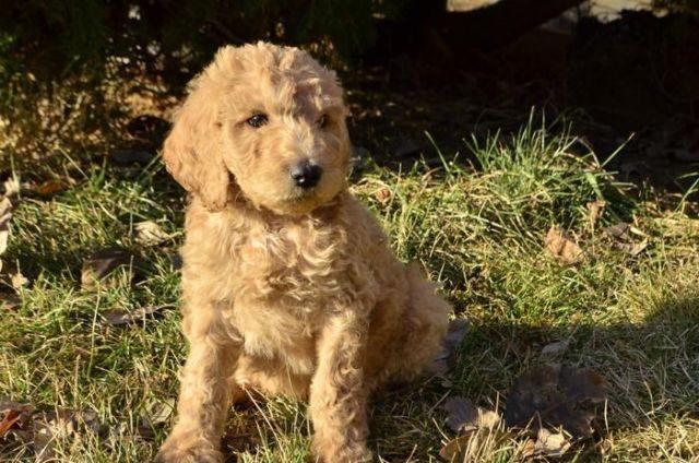 Akc St Poodle Puppies Ready Jan 10th M F Spokane Delivery