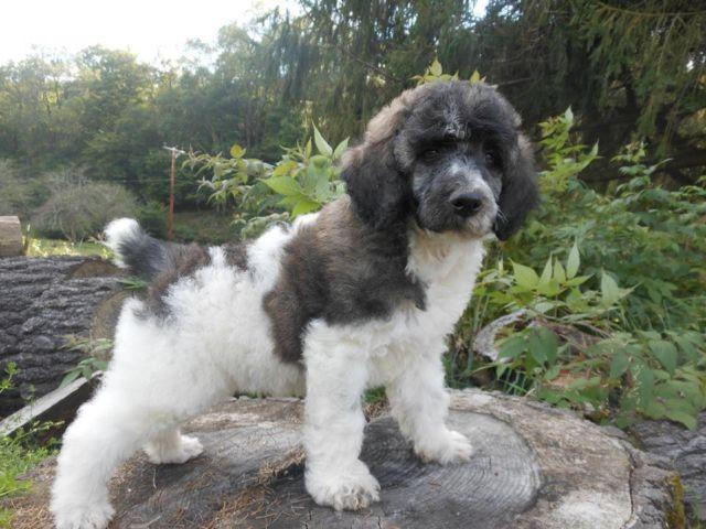 Akc Standard Brindle Parti Poodle For Sale In Richburg New