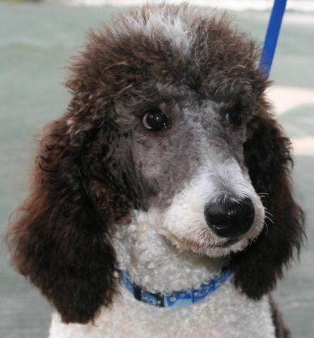 AKC Standard Poodle Parti Male with Champion Bloodlines