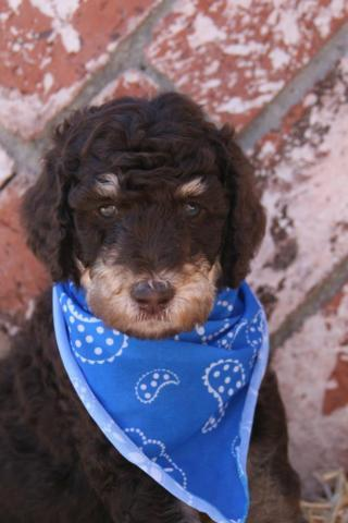 Akc Standard Poodle puppies- Phantoms and browns