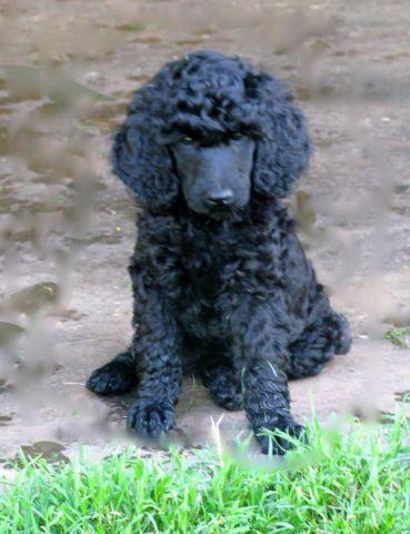 AKC standard poodle puppies 8 weeks old