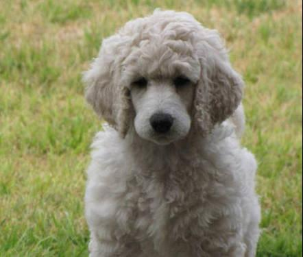 Labradoodle Puppies Pets And Animals For Sale In Greenleaf
