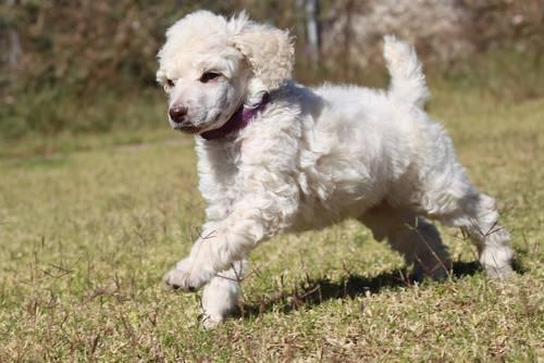 Image Result For Standard Poodles For Sale Az