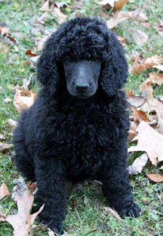 Toy Poodle Puppies For Sale In Pennsylvania Classifieds