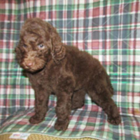 Toy Poodle Puppies Pets And Animals For Sale In Memphis