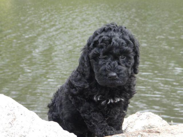 black standard poodle puppy - photo #8