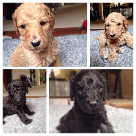 By Photo Congress || Standard Poodle Puppies Illinois