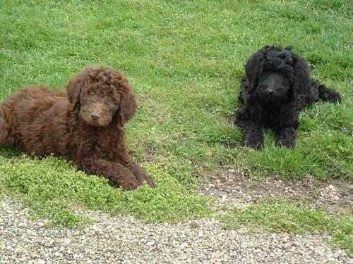 AKC Standard Poodle Puppies Chocolate, Red,Black -Outstanding